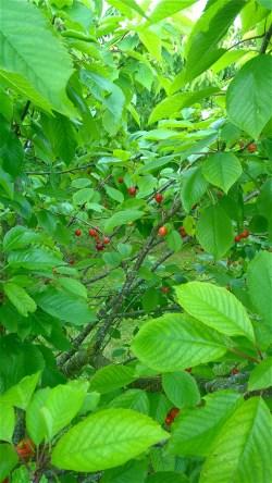 9 juni 2014: Merchant-kersen aan de boom