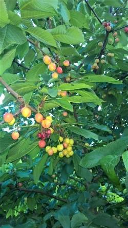 Regina kersen aan de boom 18 juni 's avonds