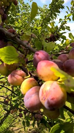 21 juli 2019 Opal-pruimen aan de boom 1