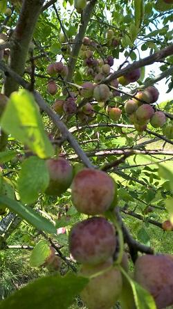 21 juli 2019 Opal-pruimen aan de boom 2