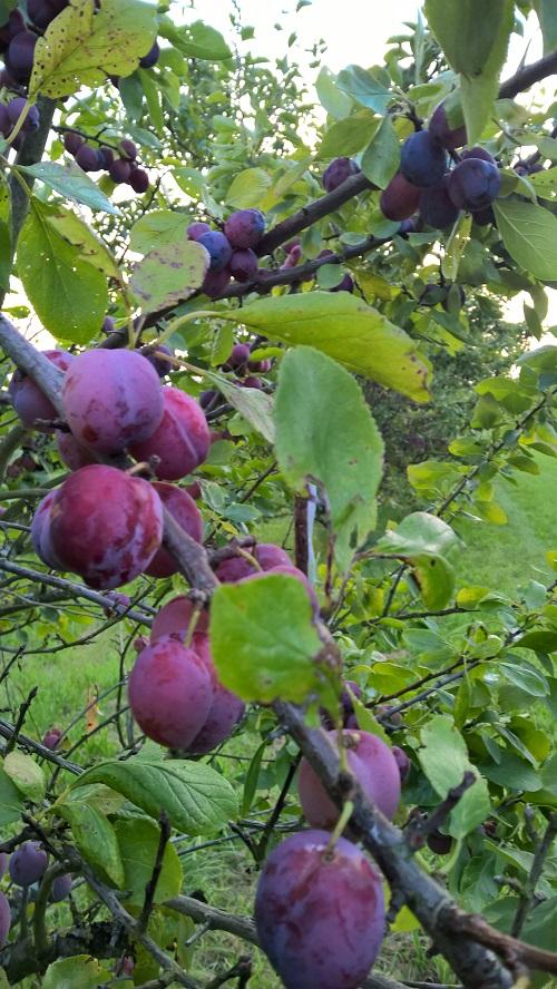 26 juli 2019 Opal-pruimen aan de boom