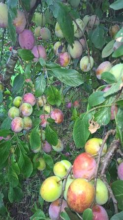 18 augustus 2019 Reine Victoria pruimen aan de boom 4