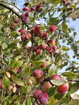23 augustus 2019 Reine Victoria pruimen aan de boom 2