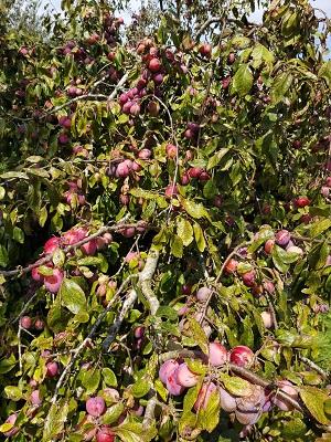 23 augustus 2019 Reine Victoria pruimen aan de boom 3